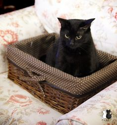 Why sit in just a chair, when you can sit in a basket in a chair? Black cat