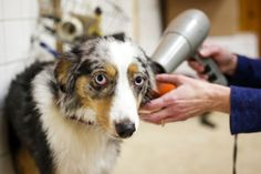 Sandy, an 8-month-old mini Australian Shepherd, is dried off after a bath at The Pet Works' self-service dog wash.