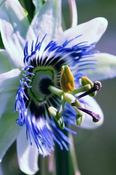 Soli Deo Gloria, Passion Flower, Nature, Flowers, Plants, Canvas, Art, Products, Tela