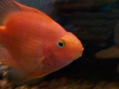 blood parrot cichlid pictures