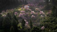30 de enero de 2015. Puntagorda.Isla de La Palma - Canarias.  Almendros en flor