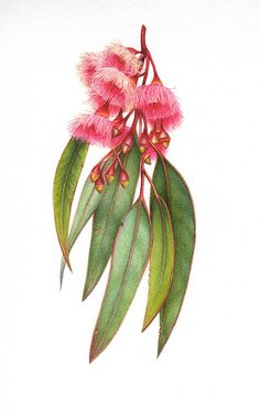 Ironbark Eucalyptus in australian native flowers drawing collection - ClipartXtras Australian Wildflowers, Australian Native Flowers, Australian Art, Australian Plants, Illustration Botanique, Illustration Blume, Botanical Flowers, Botanical Prints, Botanical Gardens