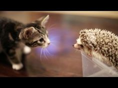 Loki the Kitten Meets Harley the Hedgehog! So cute i can't breathe.♥♥♥ My two favorite animals!♥♥♥