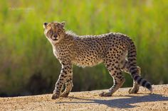 The Cheetah Cub by Mario Moreno