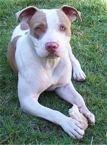 """THURSDAY PET SPOTLIGHT: PIT BULL SAVES TWO STRANGERS: According to reports, a man cornered a Florida woman who was leaving a playground with her young toddler at knifepoint, but before he could steal anything from her or use his weapon, a Pit Bull charged the man, growling and baring his teeth like he meant business. The attacker ran off, and when the woman jumped into her car for safety, the dog jumped in the back seat and sat with her until police arrived.  """"You hear about family dogs prot..."""
