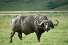 cape buffalo sculptures bronze - Google Search