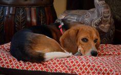 Sammy Davis Jr. - Lucky Vegas 9 Beagle Freedom Project Rescue 2014