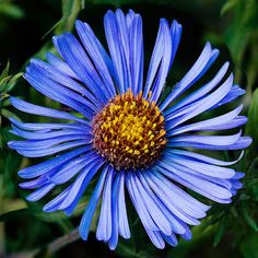 Aster is an exotic wildflower that has been popularly used in many gardens and decorations for centuries. Aside from being beautiful, it also has different meanings associated with it. Read on for information on aster flower meaning. Macro Flower, Flower Art, Aster Flower Tattoos, September Flowers, Flower Meanings, Fresh Flower Delivery, Autumn Garden, Growing Flowers, Dark Backgrounds
