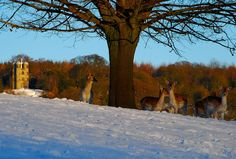 Chatsworth Park Deer