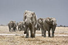 El animal terrestre más grande del planeta