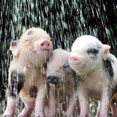 Piggy shower! I miss raising piglets :( I might as well have been a 4H kid.