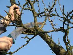 Vos arbres fruitiers ne donnent plus de fruits ? Ils n'ont pas été taillés depuis plusieurs années ? Nos conseils pour effectuer une taille de restauration.