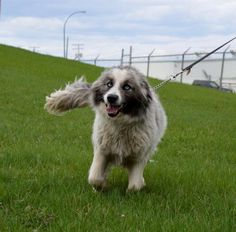Aussie Mix, Dogs, Check, Animals, First Aid, Pet Dogs, Animales, Animaux, Doggies