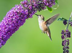 The Ultimate Dining Guide for Hummingbirds - Plants that attract hummingbirds (and butterflies, bees)
