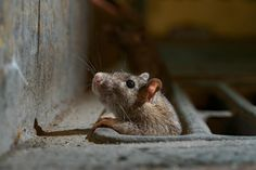 Rats come out of hiding as lockdowns eliminate urban trash — National Geographic National Geographic, City Rats, Alaska, Brown Rat, Cool Pictures, Cool Photos, Seattle, San Pedro, Wild Lion