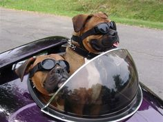 Biker boxers ... travel dogs for sure