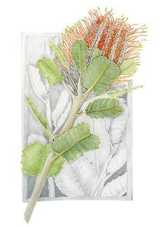 A4 Print Banksia Coccinea