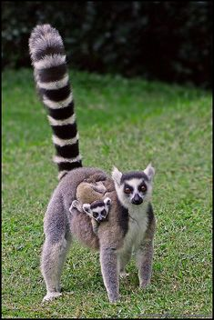 Lemur mother and baby