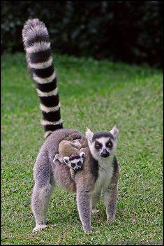 Ringed-tail Lemur, Lemur Catta Catta