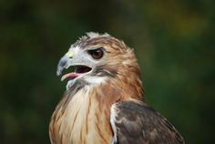 Visit Hitchcock Nature Center from September to December and learn about our efforts to monitor and track migrating raptors. #HNCHawkWatch #HitchcockNatureCenter #LoessHills