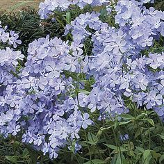 Woodland phlox (Phlox divaricata)  Woodland phlox is a slow spreading ground cover — draw lots of butterflies and hummingbirds by planting several phlox about a foot apart from each other.  Type Native perennial  Blooms Lightly fragrant lavender to blue spring flowers  Light Full sun to part shade  Size 8 to 16 in. tall, 8 to 12 in. wide  Hardiness  Cold: USDA zones 3 to 9  Heat: AHS zones 9 to 1