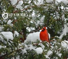 Cardinal in a Snowy Tree by Judy M Tomlinson Photography