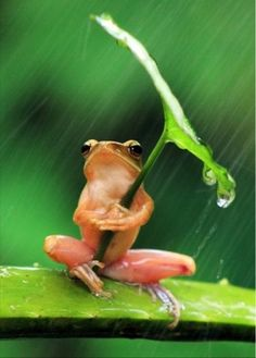98 best sendcere images on pinterest online greeting cards frog wearing umbrella photo by penkdix palme national geographic your shot a two inch frog shelters itself from the rain in jember east java m4hsunfo