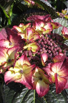 Hydrangea macrophylla 'Dark Angel Purple' (L) | /RHS Gardening