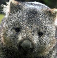Wombat                             Pinned via pinmarklet