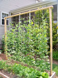 Our 'snap' pea trellis... ~7 ft
