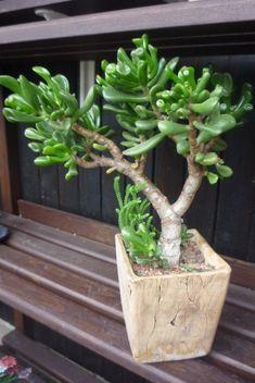 Jade Plant Bonsai, Succulent Bonsai, Jade Plants, Bonsai Plants, Cacti And Succulents, Planting Succulents, Indoor Garden, Indoor Plants, Succulent Display