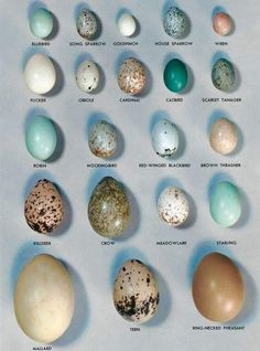 Bird egg identification guide and texas birds. Photographeggs of some of the common birds effectively. This image has a resolution and has a size of 0 Bytes Love Birds, Beautiful Birds, Bird Egg Identification, Common Birds, Backyard Birds, Back To Nature, Nature Nature, Wild Birds, Bird Watching