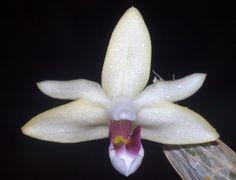 Euphlebium josephinae