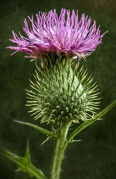 Thistle from our farm in North Carolina.