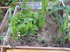 19.06.2014, der Spontankauf, Süßkartoffeln, ins Milpa Beet gepflanzt, Bodendecker ist Bodendecker. Hoffe, auf gute Nachbarschaft mit dem Mais.