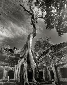 Rilke's Bayon, Tetrameles nudiflora, in Ta Prohm, Siem Reap Province, Cambodia. Today, the late twelfth-century Buddhist temple of Ta Prohm stands in a semi-ruined state among forests and farmland. The structure is straddled by immense Tetrameles whose serpentine roots pry apart the ancient stones in a desperate journey to find soil. The temple provides a striking example of what the untamed tropical forest will do to even the mightiest monument when human hands are withdrawn.