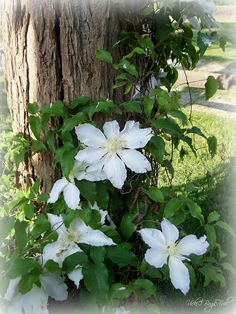 white clematis in our front garden