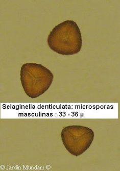 El futuro está escrito en verde: Selaginella denticulata, el helecho musgo