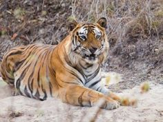 Support for Tiger Ustad T-24 of Ranthambore is growing phenomenally