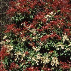 PIERIS JAPONICA SEEDS (Japanese andromeda, Lily-of-the-valley bush, Japanese pieris)