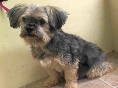 SUPER URGENT 6/14/14 Manhattan Center   NINO - A1003191  MALE, GRAY / TAN, SHIH TZU MIX, 8 yrs OWNER SUR - EVALUATE, NO HOLD Reason PET HEALTH  Intake condition GERIATRIC Intake Date 06/14/2014, From NY 10452, DueOut Date 06/14/2014,  https://www.facebook.com/photo.php?fbid=820308747982006set=a.617942388218644.1073741870.152876678058553type=3theater