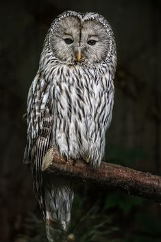 Barred Owl (Strix varia) by Jean-Claude Sch. on 500px