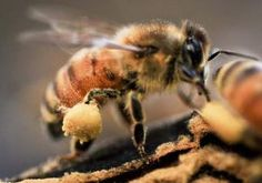 Honey bees were out collecting tree pollen earlier than usual at Wood Lake Nature Center in Richfield. The yellow balls seen on this bee's hind leg is a pollen basket, a depressed area called the corbicula. (Pioneer Press: Ben Garvin)