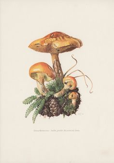 Vintage Botanical Prints, Set of 6 Mushroom Illustrations, Boletaceae Fungi From a collection of fungi lithographs published in 1963.