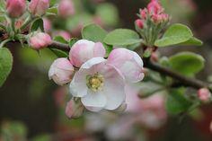 Apple Blossom   Flickr