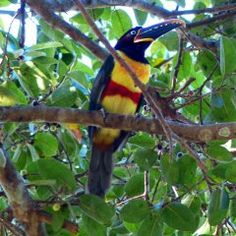 Toucan - Pantanal - Brésil picsandtrips.wordpress.com