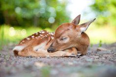 Tiny deer - Getty