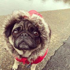 #Repost @pugemergency Bundle up!! #pug #puggie #puggies