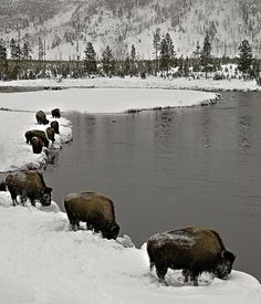 Bison, Yellowstone National Park in the winter. I will go there sometime now that I live a lot closer to see this beautiful place and the abundance of wildlife. Beautiful Creatures, Animals Beautiful, Beautiful World, Beautiful Places, Beautiful Mess, Beautiful Pictures, All Nature, Mundo Animal, Tier Fotos