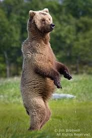 grizzly bears - Google Search